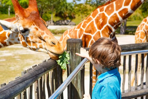 Kind voert giraffes in dierentuin